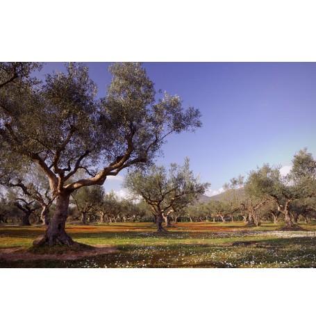 KALAMON TYPE OLIVES FROM KALAMATA MESSINIAN LAND